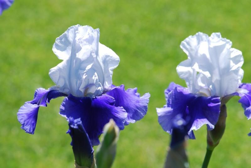 Irises in focus