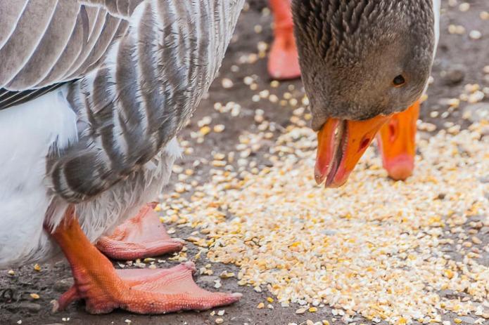 geese eatng