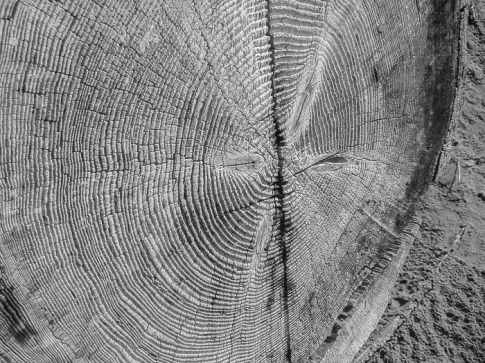 Sliced tree trunk found at Driftwood beach.