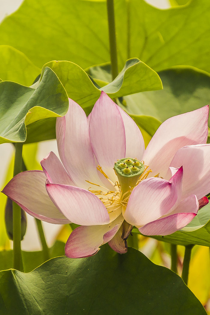 Lotus flowers are always serene and soothing.