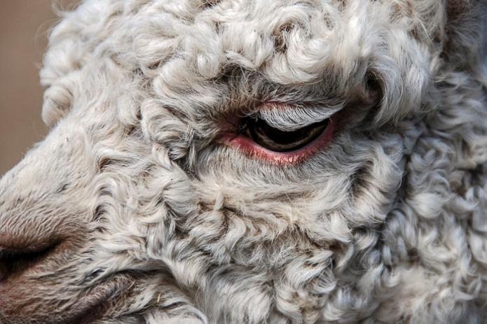 Snowflakes that stay on my nose and eyelashes, (alpaca eyelashes)
