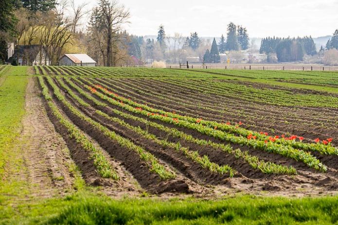 022015Woodenshoe Tulips