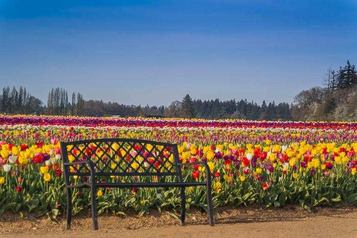 022015Woodenshoe Tulips_2