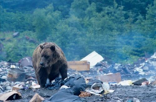 Brown Bear in garbage dump, Yakatat, Alaska