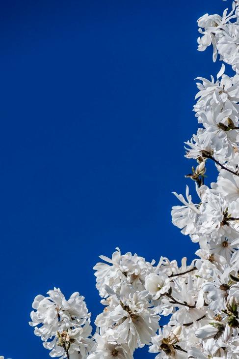Indigo Sky - Magnolia