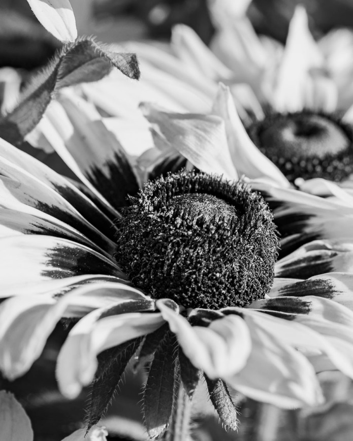 082015bw flower_1