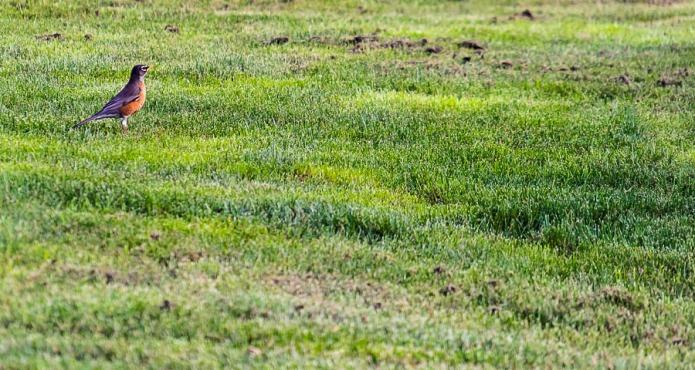 Robin on green grass