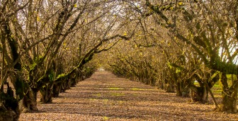 Looking down a row in an orchard.