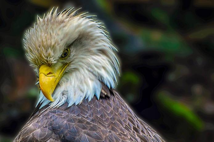 American Bald Eagle (bird)