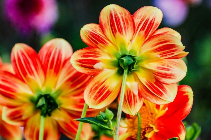Back of flowers (dahlia)