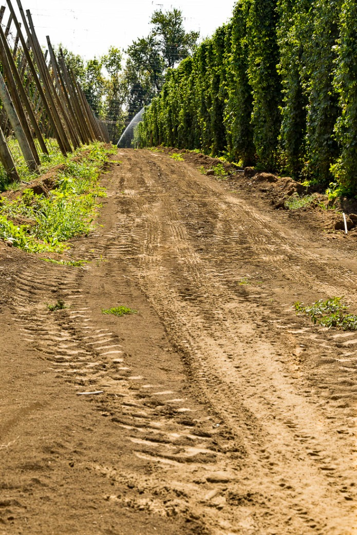 Dirt access road through a hazelnut orchard.