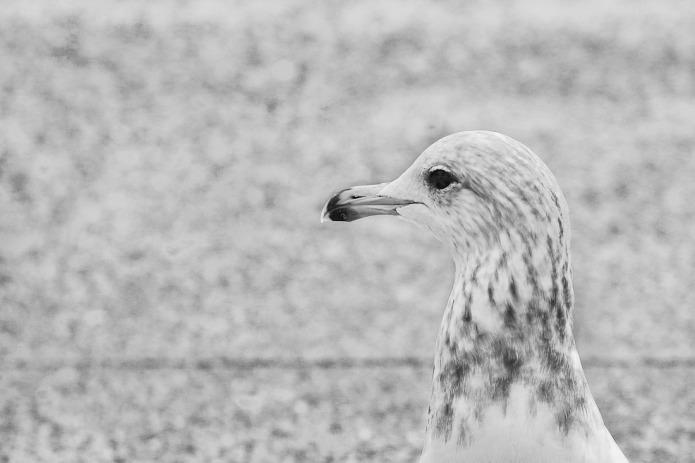 Seagull at beach.