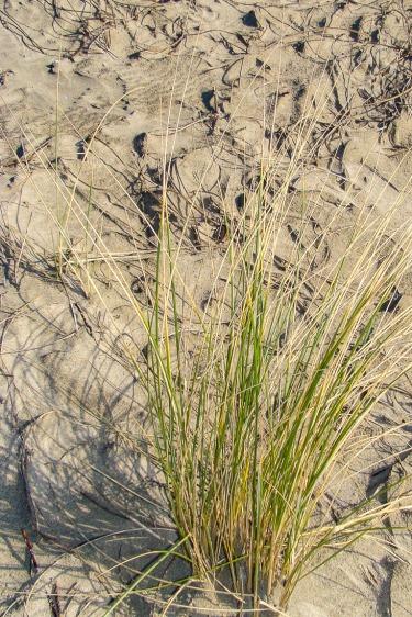 Wild grass on the sand on the beach.