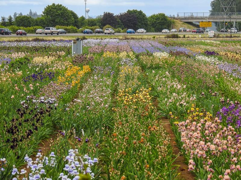 Schreiners Iris Field, Brooks, Oregon.