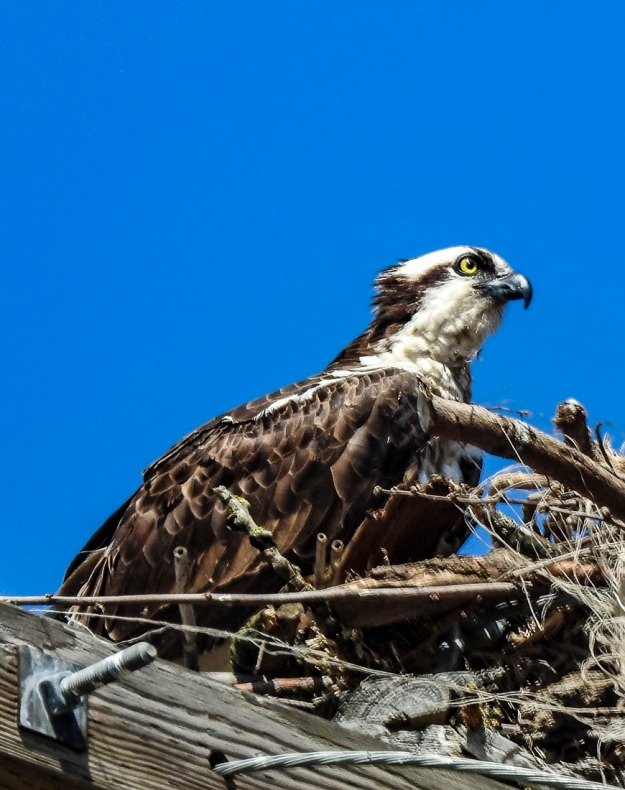 This is a new photo I took a week ago of an Osprey. I wouldn't be surprised if it becomes one of my all time favorite photos.