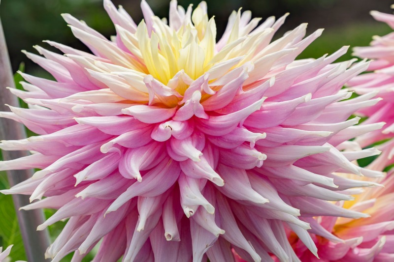 Test dahlia that has the most votes to date. This dahlia must be about 8-9 inches wide and about 6-7 inches deep. It is just huge.