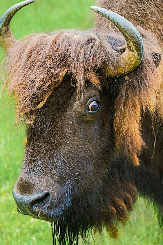 Buffalo protecting its baby.