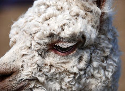 Alpaca eye.  I adore their eye lashes.