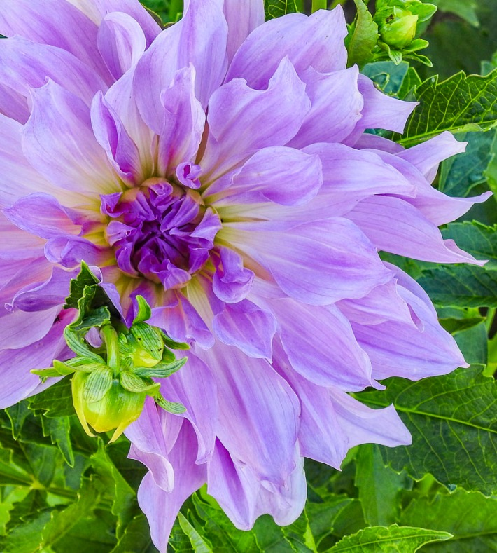 Lavender Ruffles Dahlia and bud