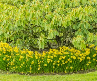 Rhododendron and daffodils.