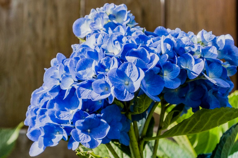 The patterns in hydrangea blossoms are so cool. The little flowers within this bloom created a bonnet.