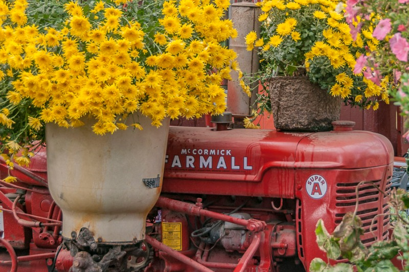 Tractor and mums.