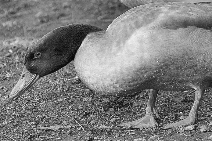 Duck eating.
