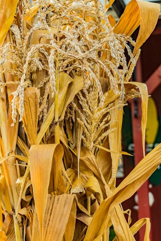 dried corn stalk