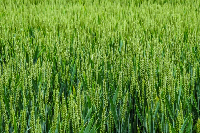 Fresh green wheat