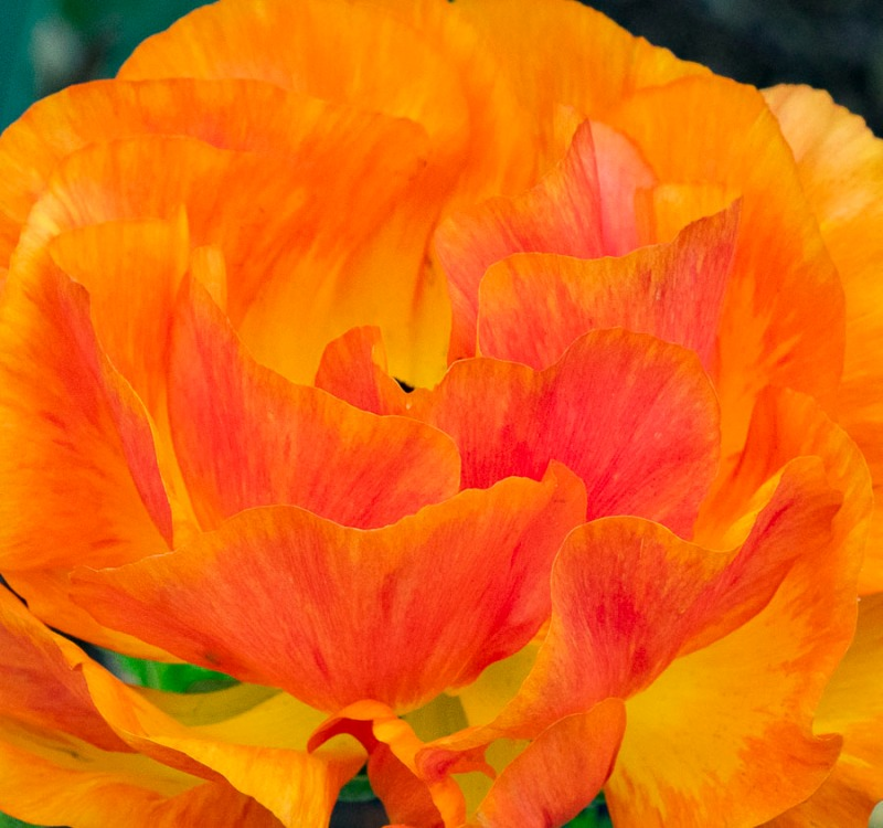 Poppy.  Photo taken this past spring.