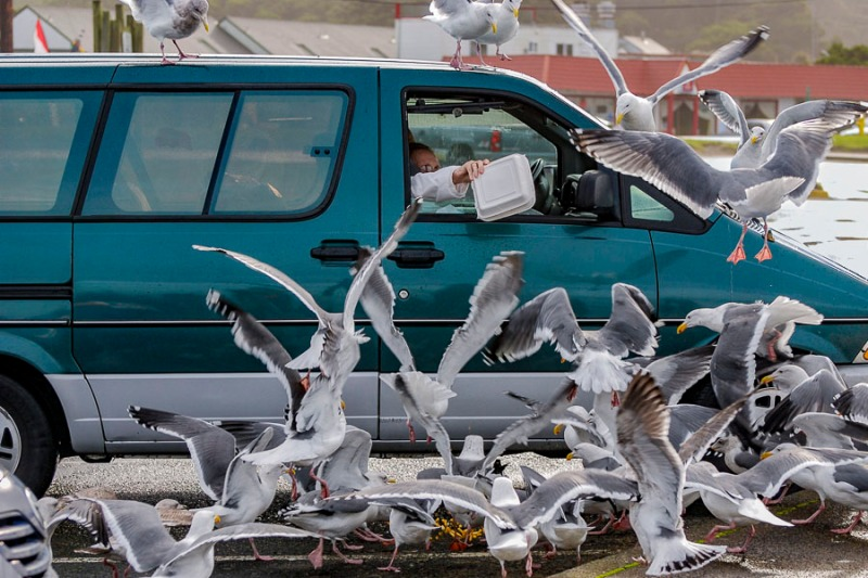 People giving their left overs to seagulls at D River Beach, Lincoln City, Oregon.