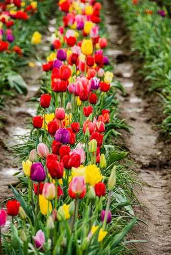 Muddy and dirty aisles between the tulips.