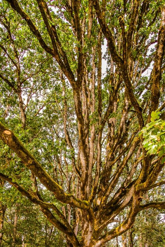Old tree at am Elk Farm in Mulino, Oregon.