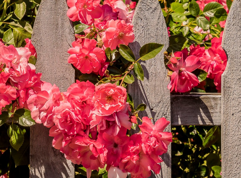 Wooden fence with roses in Canby, Oregon.