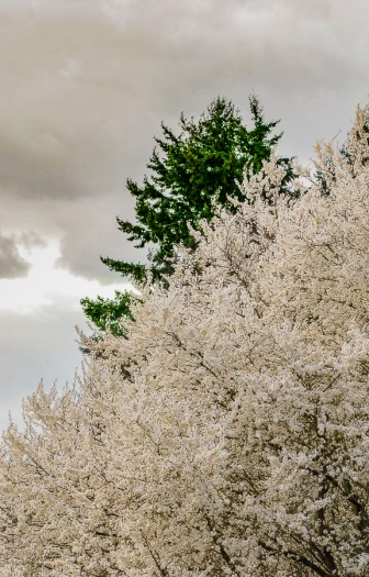 Spring blossoms on a gray day near Canby, Oregon.