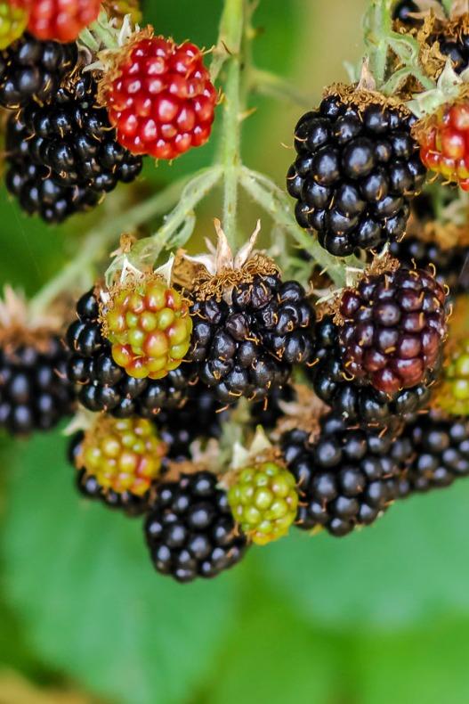 112816berry