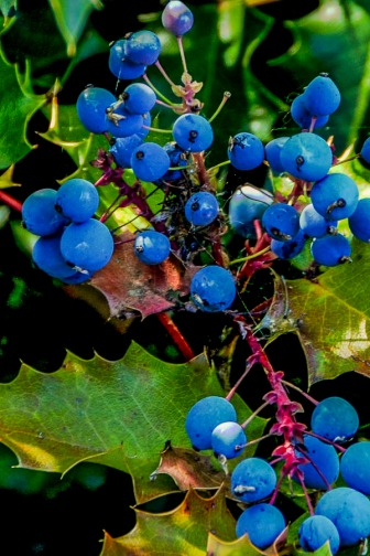 Oregon Grape.  The leaves looks like Holly leaves are are green year round.  They have yellow blossoms in the spring.