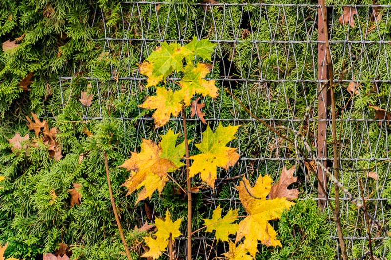 Autumn leaves, evergreen and fence.