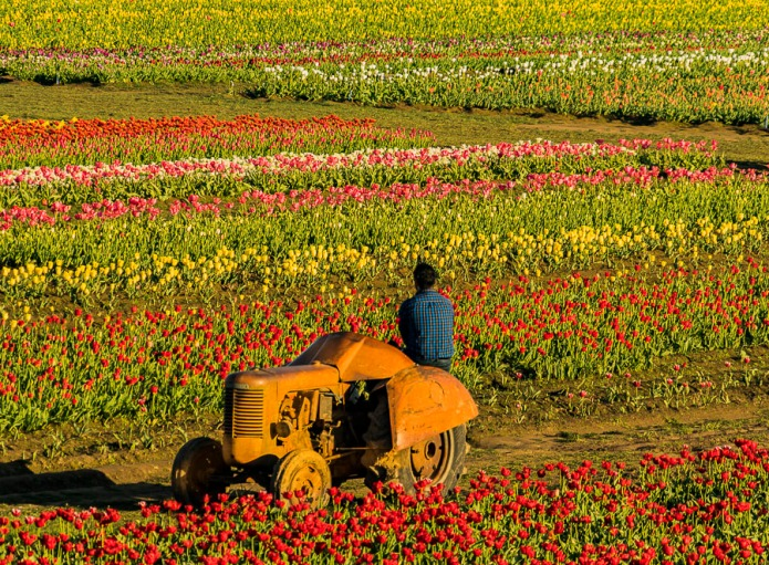 Relaxing on a vintage tractor enjoying the late afternoon view at the tulip farm.