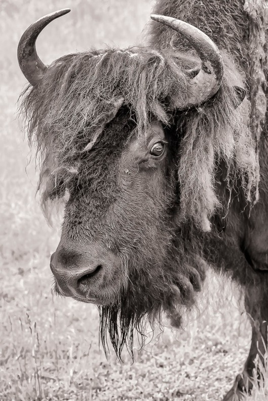 Buffalo. Photo taken at Northwest Trek, Washington.