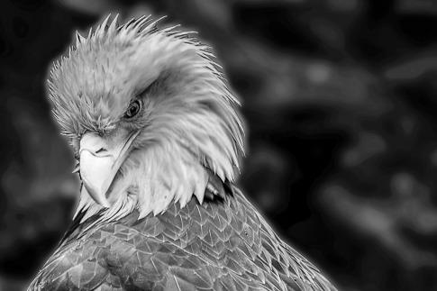 Bald Eagle. Photo taken at Northwest Trek, Washington.