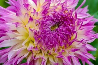 Test flower at Swan Island Dahlias.