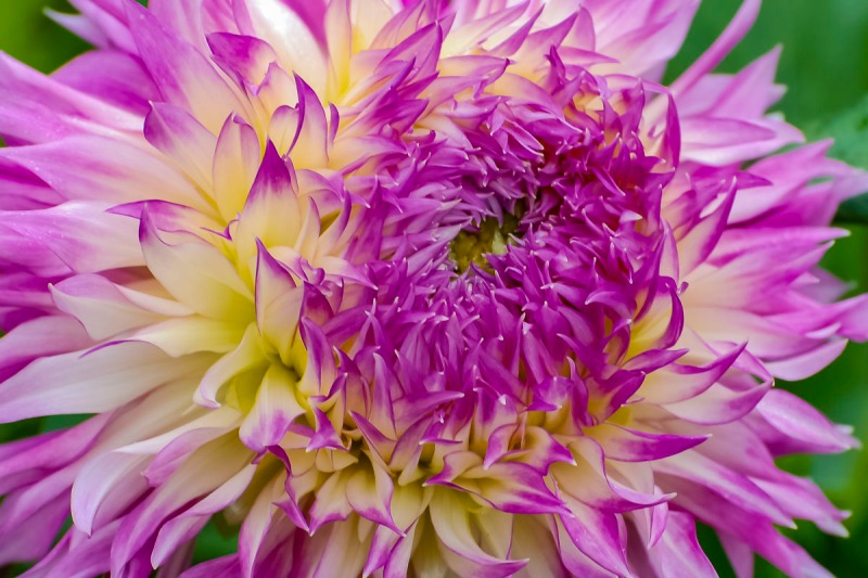 Test flower at Swan Island Dahlias.