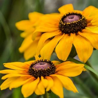 Some sort of sunflower or daisy like flower.