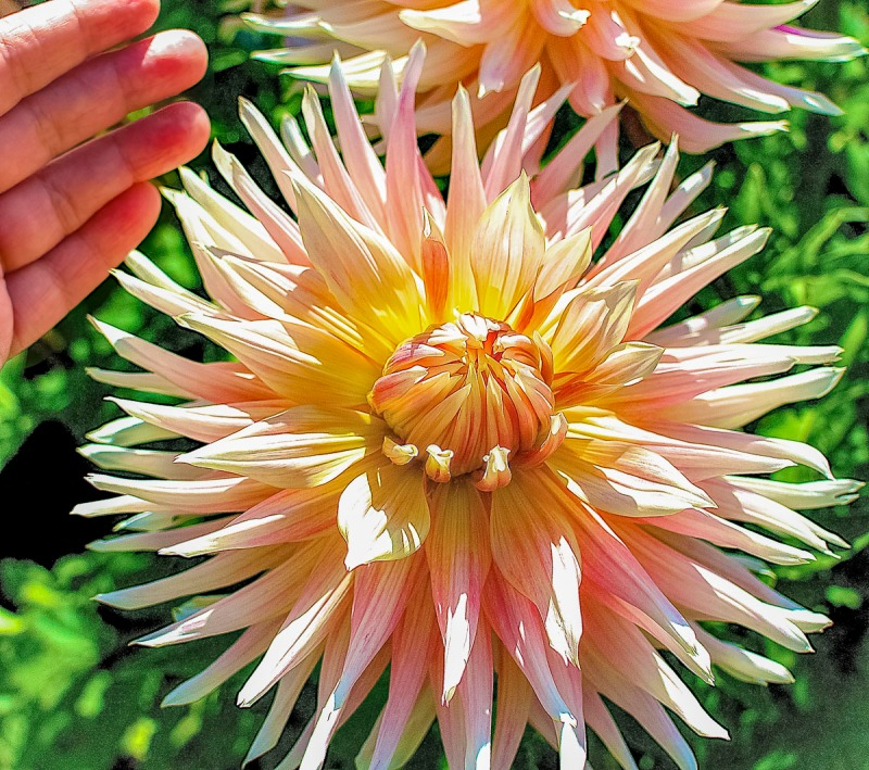 Dinner plate sized dahlia and my hand as a model.
