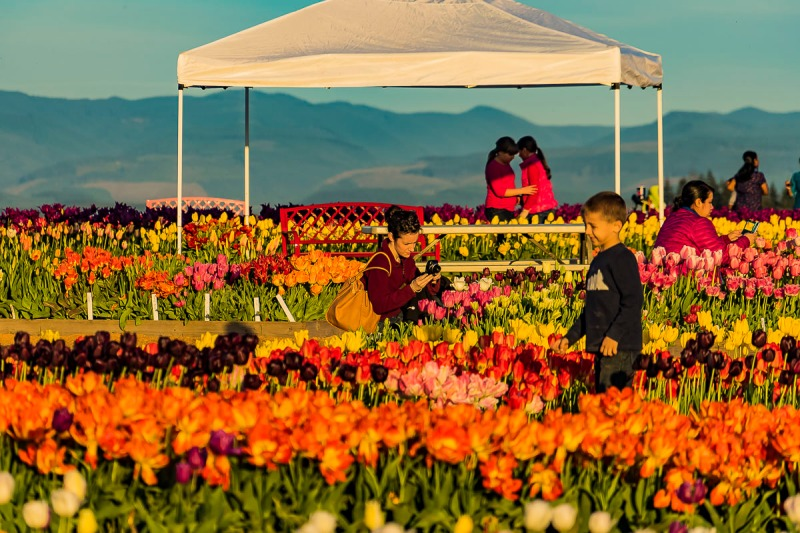 Wooden Shoe Tulip Festival in the early evening.