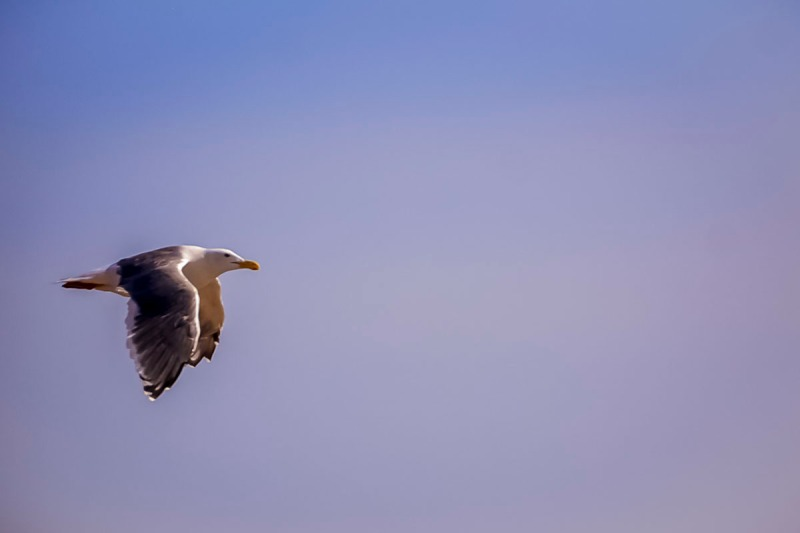 A seagull flying.