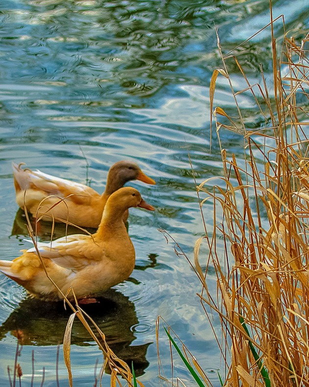Ducks near the edge of a pond.