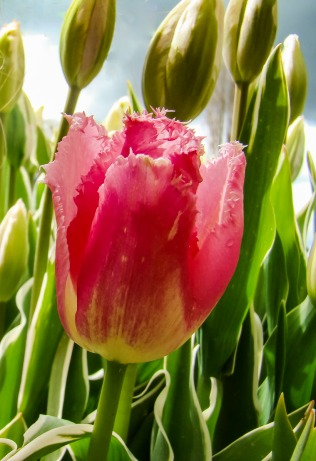 Cropped tulip GOOD.