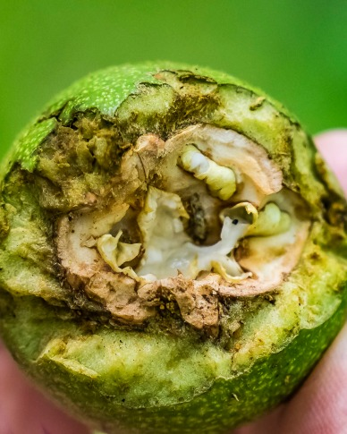 The inner and outer layers of a walnut.